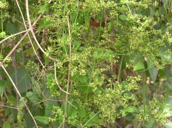 Manjistha Churna (Rubia cordifolia)